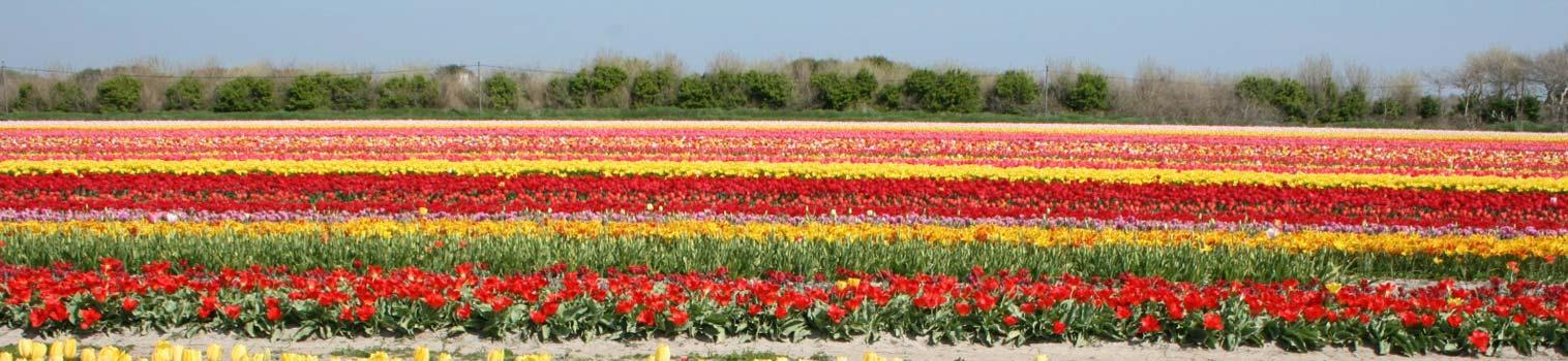 champ-tulipe-torche